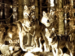 pack_wolves